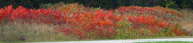 rhus typhina on a roadside