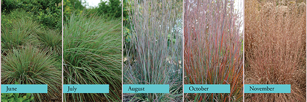 Schizachyrium scoparium 'Standing Ovation' - Little Bluestem by North Creek Nurseries